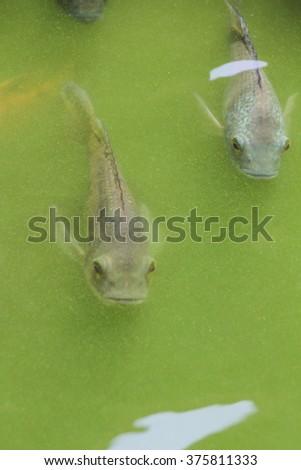 Oreochromis niloticus fish in pond - stock photo