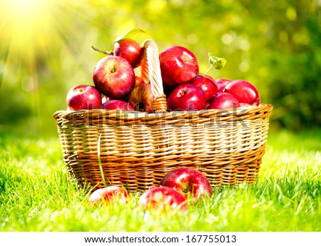 Organic Apples in a Basket outdoor. Orchard. Autumn Garden. Green Grass  - stock photo