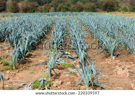Organic bio leek field in Belgium ready to be harvested in autumn - stock photo