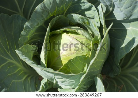 Organic Cabbage - stock photo