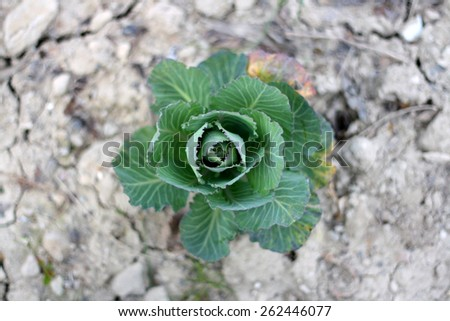 Organic cabbage growing in the garden. Focus in the middle, shallow dof.  - stock photo