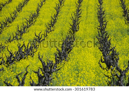 Organic California vineyard with yellow flowering mustard cover crop between the fines. - stock photo