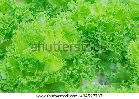 Organic fresh lettuces are growing in vegetable garden - stock photo