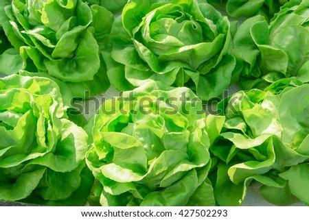 Organic fresh lettuces in  hydroponic farm - stock photo