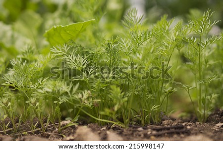 Organic Gardening, Green Vegetables and Carrot tops growing in garden in spring - stock photo