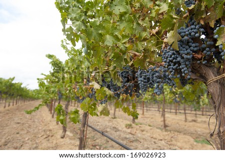 Organic grape vineyard of California. - stock photo