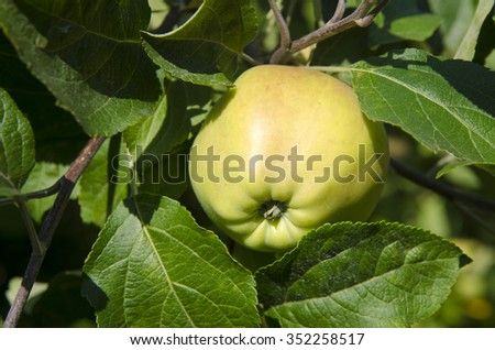 Organic green apple on branch, fruit on orchard ready for picking - stock photo