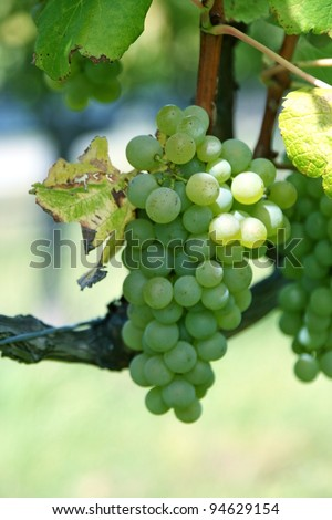 organic green grapes growing on a grapevine in South Island, New Zealand/Organic White Wine Grapes on the vine in New Zealand. - stock photo