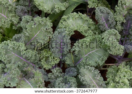 organic green kale on wooden farm - stock photo