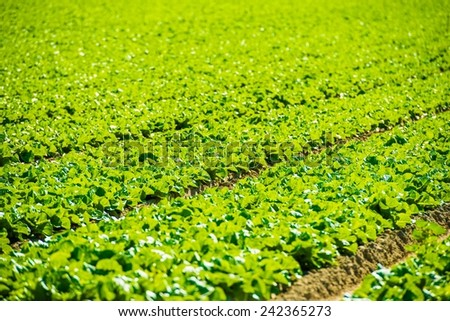 Organic Green Lettuce Field Closeup. California Agriculture.  - stock photo