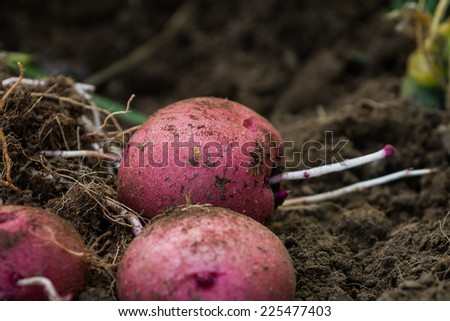 organic home grown red skinned potatoes on the healthy soil - stock photo