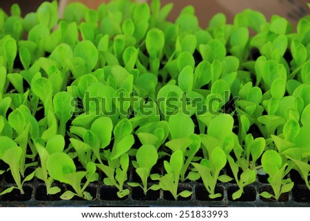 Organic hydroponic vegetable. - stock photo