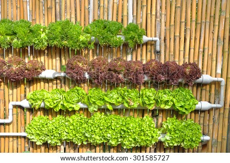 Organic hydroponic vegetable cultivation demonstrate - stock photo