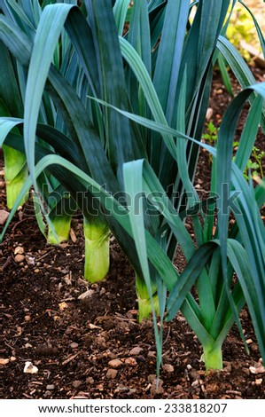 Organic Leeks in a row in the ground - growing vegetable - stock photo