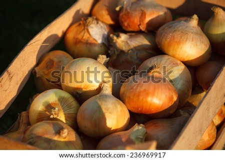 Organic onions in a box close-up - stock photo