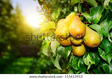 organic pears on tree branch - stock photo
