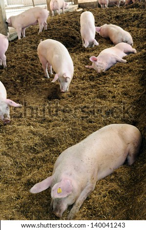 Organic pig farm with large pigs. - stock photo