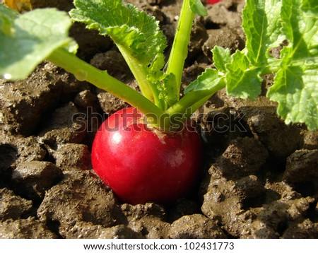 organic radish growing on the vegetable bed - stock photo
