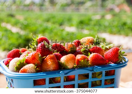 Organic strawberries in a basket at Chiang Mai, Thailand. - stock photo
