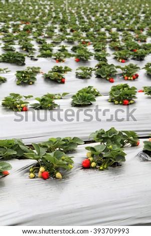 Organic strawberry farm  - stock photo