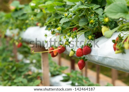 Organic strawberry plant growing in green house - stock photo