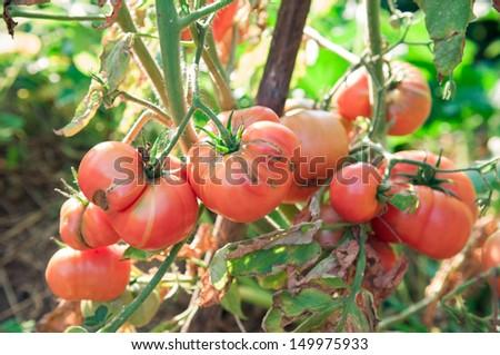 Organic tomatoes in garden  - stock photo