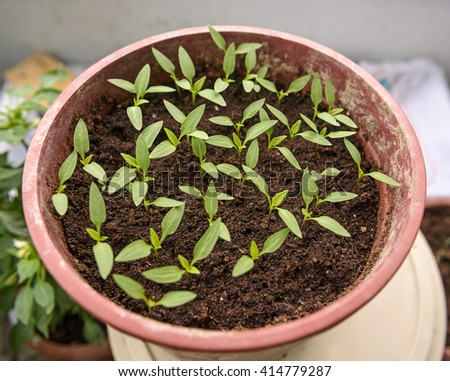 Organic vegetable seedlings in a pots - stock photo