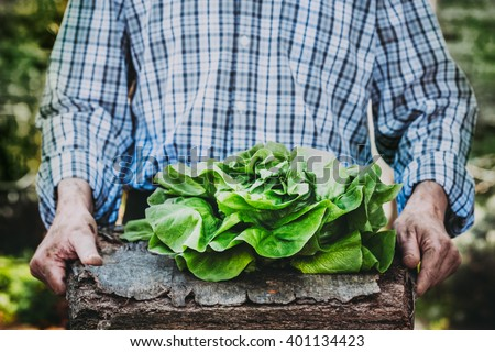 Organic vegetables. Farmers hands with freshly harvested vegetables. Fresh organic lettuce. - stock photo