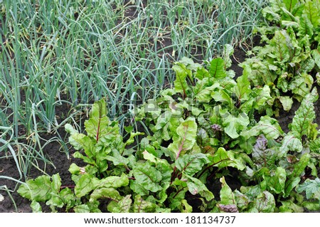 organically cultivated  beetroot and green onion  in the vegetable garden  - stock photo