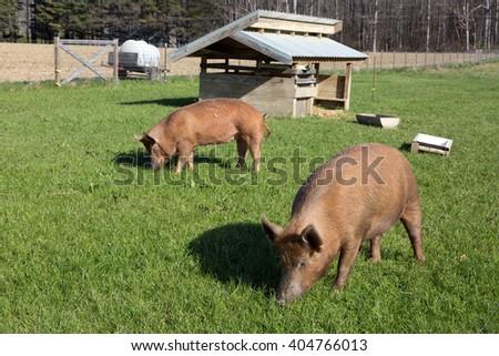Organically raised free range Tamworth pigs graze on pasture grass on a small farm. - stock photo