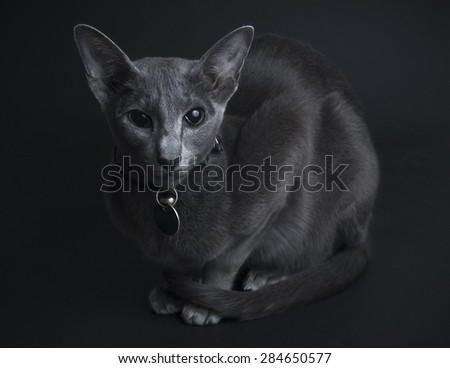 Oriental Blue Siamese cat on a black background, low key. - stock photo
