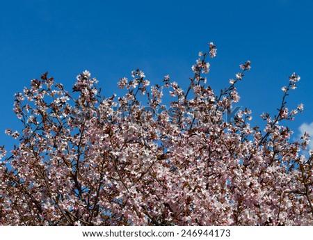 Oriental cherry (sakura) and blue sky - stock photo