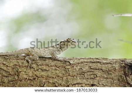 oriental garden lizard is standing on the tree bark - stock photo