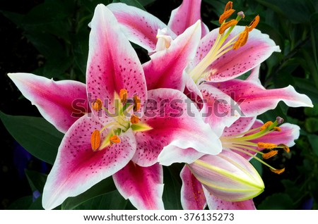 oriental lily or lilium auratum closeup in full bloom with anthers stamen petals sepals stigma visible - stock photo