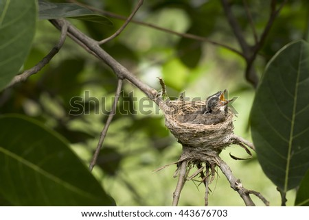 Oriental Magpie-Robin baby (two weeks) waiting food from mother and father in the nest. - stock photo