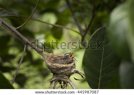 Oriental Magpie-Robin baby (two weeks) waiting food from mother and father in the nest. Good morning Bird baby. - stock photo