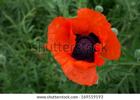 Oriental Poppy on Green - stock photo