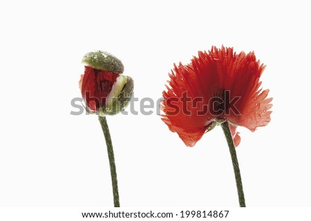 Oriental poppy (Papaver orientale) flower and bud - stock photo