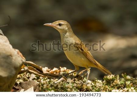 Oriental Reed Warbler (Acrocephalus orientalis) in nature of Thailand - stock photo