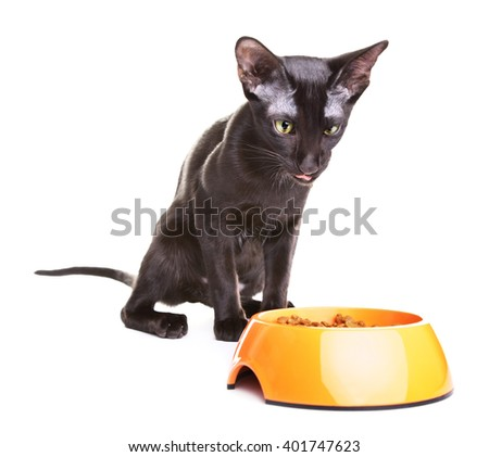 Oriental Shorthair Cat Eats Pet Food - stock photo