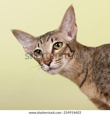 Oriental Shorthair cat on green background - stock photo