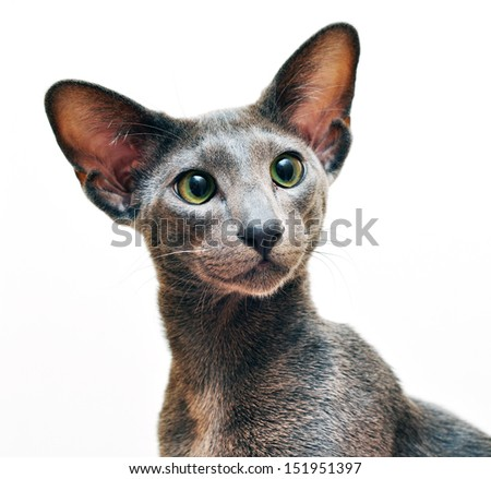 Oriental Shorthair Cat on white background - stock photo