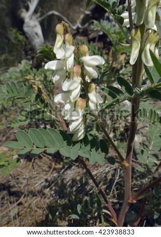 Oriental Shrub Milkvetch - Erophaca baetica orientalis syn. Astragalus lusitanicus - stock photo