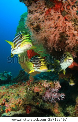 Oriental Sweetlips fish and Crescent-tail Bigeyes - stock photo