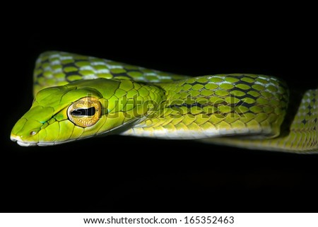 Oriental Whipsnake or Asian Vine Snake (Ahaetulla prasina) hunts at night by hanging from a tree in the jungles of Borneo. This long, slender snake waits patiently to ambush passing or sleeping prey. - stock photo