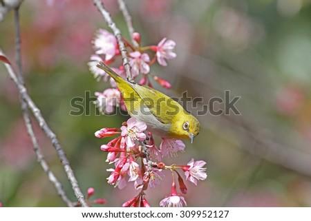Oriental White Eye - stock photo