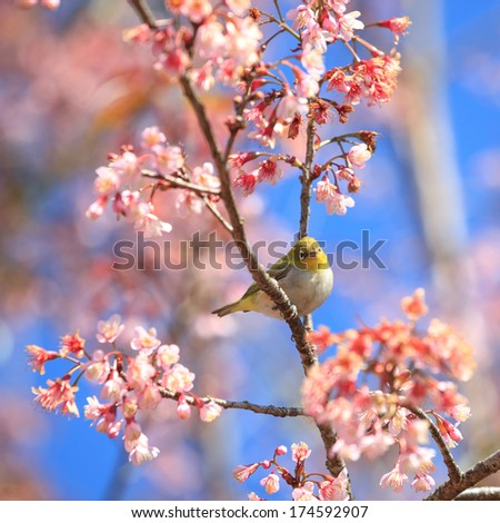 Oriental White-eye Bird on Cherry BlossomTree - stock photo