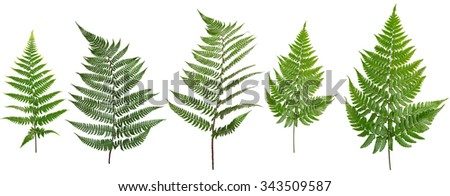 Original size Collected Leaf fern isolated on white background of close-up - stock photo
