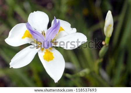 Originally from Kenya, eastern and South Africa, the fortnight lily, African or morea iris, are evergreen perennials. Oakhurst Hybrids have purple centers and yellow splotches on the petals. - stock photo