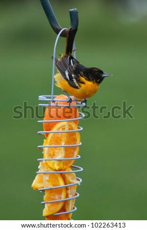 Oriole on orange feeder - stock photo